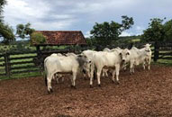 minerthal-touros para repasse